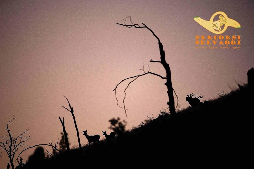 Cerva, Cerbiatto e Cervo all'Imbrunire