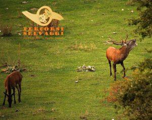 Bramito di cervi nel Parco Nazionale d'Abruzzo