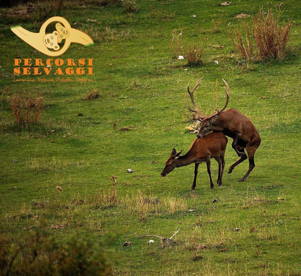 Accoppiamento tra cervi nel Parco Nazionale d'Abruzzo