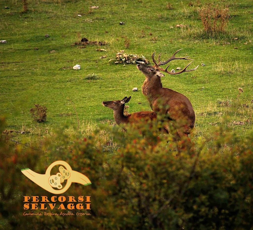 Accoppiamento dei Cervi in Abruzzo